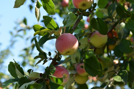 Small apples hanging on the tree