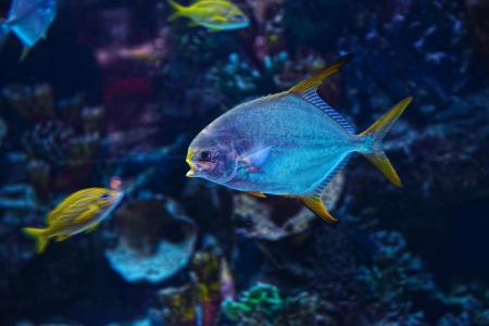 Golden caranx swimming in the aquarium