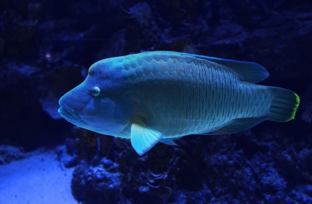 Napoleon Wrasse swimming in the aquarium photo
