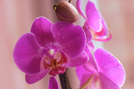 Flowers of pink orchid with water drops