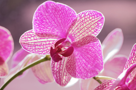 Flowers of pink orchid on the windowsill Stock Photo