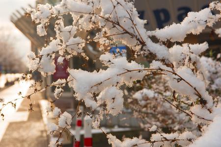 freshly fallen snow: Appena caduta neve tra i cespugli della citt�