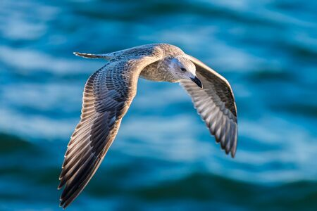Flying seagull above the North Sea, picture taken from above, special position Editorial