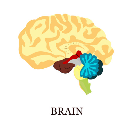 gyrus: Color illustration of the human brain