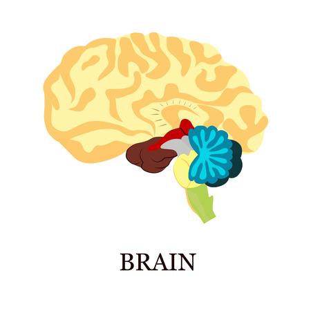 livelihoods: Color illustration of the human brain