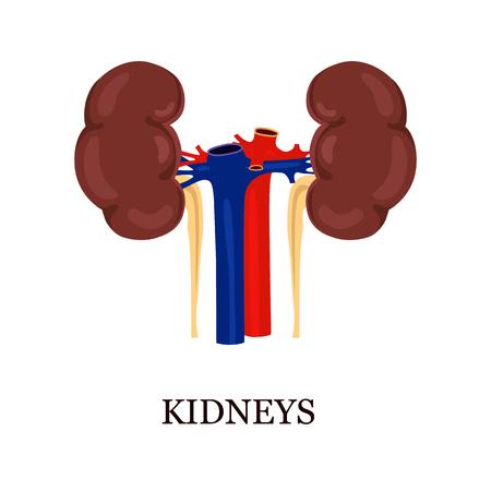 livelihoods: Color illustration of the human kidneys