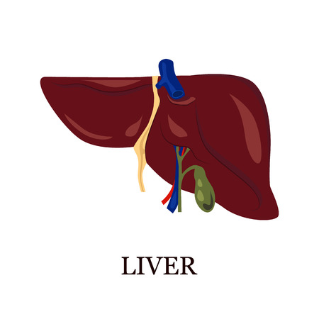 vital: Color illustration of the human liver