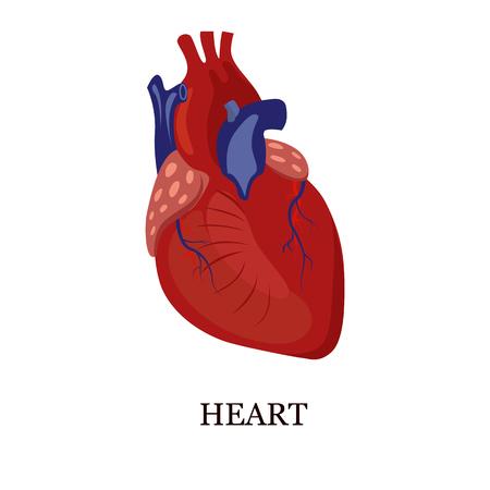livelihoods: Color illustration of the human heart Illustration