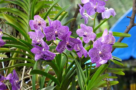 Los híbridos de orquídeas de Vanda es un género de orquídeas están atrapados con el renombrado Tailandia durante tanto tiempo. Híbridos de orquídeas ya se ha mencionado, ninguno de los cuales poseo. Se dice que los más raros, más precioso y ha sido reconocido como uno de los mundo