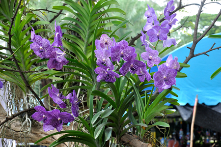 Hybrids Vanda orchid is a genus of orchids are stuck with the renowned Thailand for so long. Orchid Hybrids already mentioned, none of which I possess. It is said that the most rare, most precious and has been recognized as one of the world