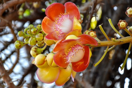 Couroupita guianensis photo