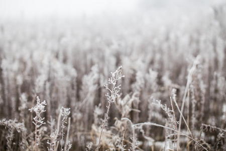 Grass covered with hoarfrost on a foggy winter day photo