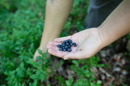 picking fingers: Close-up image of ripe freshly picked wild blueberries in girls hands. Ladys fingers slightly stained blue from picking organic blueberries in summer forest. Berry bushes on blurry background.