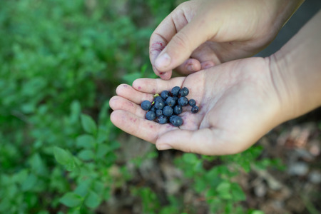 picking fingers: Close-up image of ripe freshly picked wild blueberries in womans hands. Ladys fingers slightly stained blue from picking organic blueberries in summer forest. Berry bushes on blurry background.