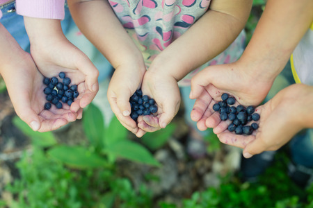 blueberry bushes: Close-up image of freshly picked wild blueberries in childrens hands. Kids fingers slightly stained blue from picking ripe organic blueberries in summer forest. Blueberry bushes on the background.