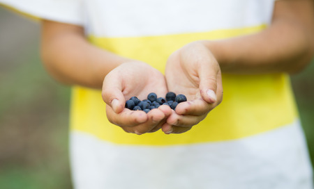 picking fingers: Close-up image of freshly picked wild blueberries in childs hands. Boys fingers slightly stained blue from picking organic blueberries in summer forest. Kid holding a bunch of ripe berries. Stock Photo