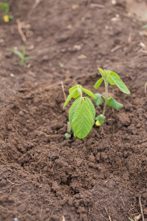 soya bean plant: Young soya plants on a farm. Organic soybean seedlings in a garden. Organic gardening in summer.