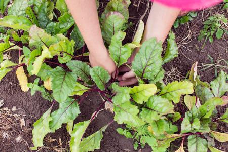 agricultor: Farmer adelgazamiento y mulching plantas de remolacha j�venes en una cama del jard�n. Jardiner�a en verano. El cuidado de las plantas agr�colas. Foto de archivo