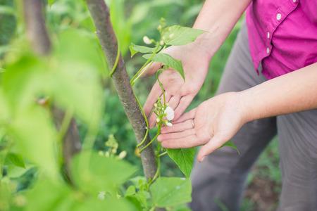 garden bean: Blossom on pole bean plants in a garden. Farmer caring for pole bean plants in summer. Organic gardening. Stock Photo