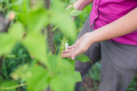 garden bean: Blossom on pole bean plants in a garden. Farmer caring for pole bean plants in summer. Organic gardening