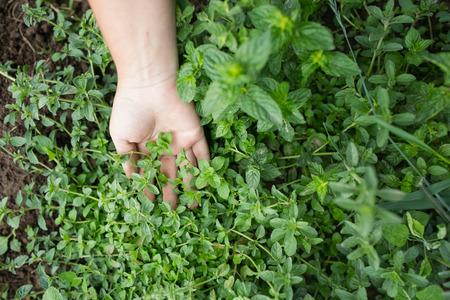 organic farm: Fresh green herbs at a local farm with hand of a gardener next to plants. Young peppermint plants. Organic farming and gardening. Stock Photo