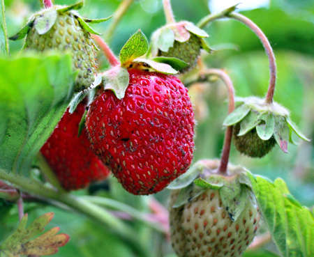 sweet berry strawberries Stock Photo