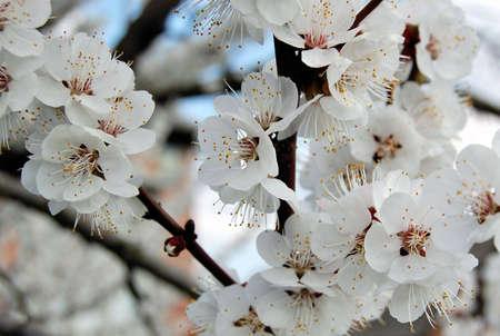 aple tree flowerses