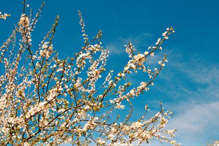 Nice prunier en fleurs au printemps. Banque d'images
