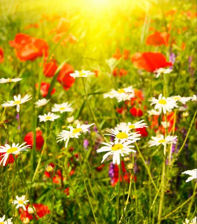 Wonderful sunset and nice camomiles by summer. photo