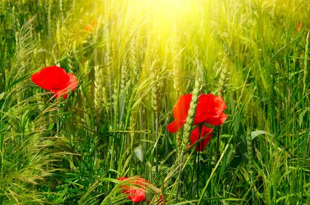 Poppies  among green wheat early summer morning. photo