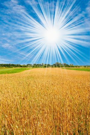 Golden  ripe wheat and sun,blue sky with clouds. Stock Photo - 5299920