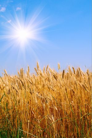Splendid yellow field and the blue sky with sun. Stock Photo - 5299941