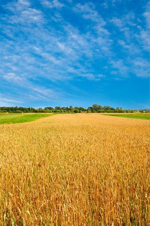 White clouds on the sky and golden wheat. Stock Photo - 5346281