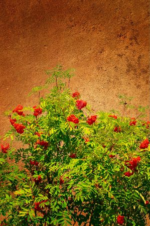 Abstract view of wall and rowanberry pasted on it. photo
