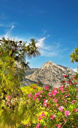 Beautiful pine-tree with flowers in front of tall mountains by summer. photo