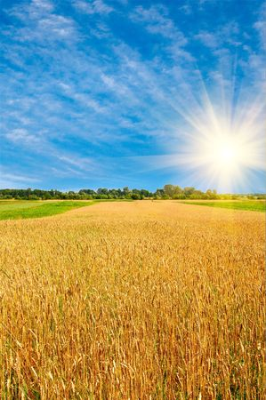 Ripe wheat on a sunny day. Stock Photo - 5601202