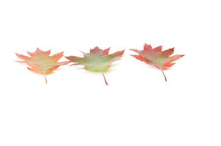 oaken: Three  colorful oaken leaves isolated on a white background.