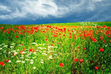 red poppies on green field: Field early morning by summer.