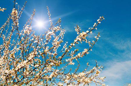 Nice plum tree blossom  and fun sun in the blue sky. Stock Photo