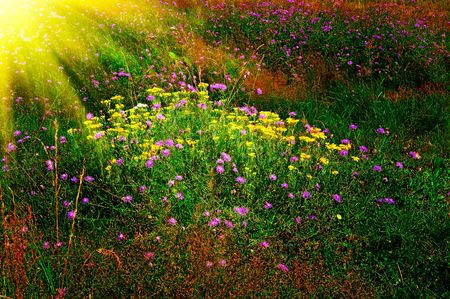 Peaceful lawn of field flowers by summer.  photo