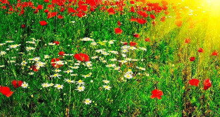 red poppies on green field: Wonderful green meadow and nice sunbeams by summer.