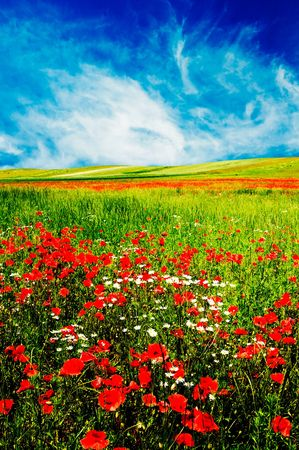 red poppies on green field: Beautiful field early morning by summer. Stock Photo