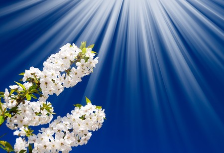 Unusually  sunbeams and blooming cherry branch by  springtime. Stock Photo - 6882063