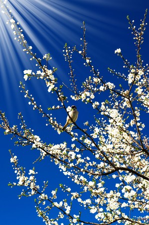 Small  sparrow sing song on the spring tree and unusually sunbeams. photo