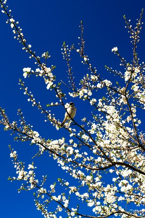 Small  sparrow sing song on the spring tree.  photo