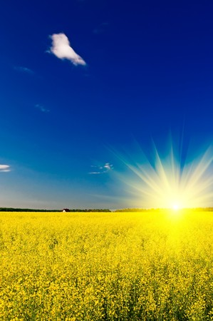coleseed: Wonderful sunset above golden rapefield by springtime.
