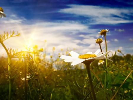 Ciel de silence, camomiles et bleu au printemps.