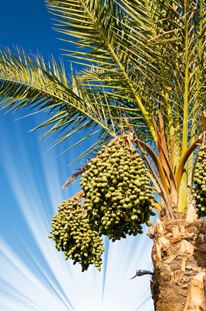 bark palm tree: Date palm with green unripe dates.  Stock Photo