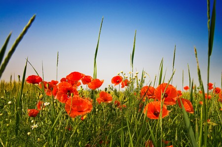 Green field with poppies and blue sky early morning by summer.