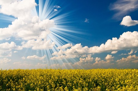 Excellent golden rapeseed field and white clouds. photo